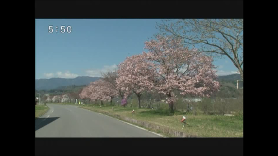 飯田市 南ではヤエザクラが見ごろに
